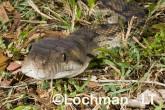 Amethystine Python LLF-474 © Lochman Transparencies