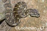 Amethistine Python - Morelia amethistina