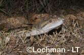 Boidae-Morelia amethystina-AMETHYST PYTHON LLH-902 © Lochman Transparencies