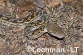 Boidae-Morelia amethystina-AMETHYST PYTHON LLH-904 © Lochman Transparencies