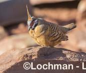 Petrophassa plumifera Spinifex Pigeon LLW-296 ©Jiri Lochman - Lochman LT