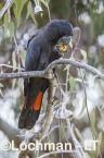 Calyptorhynchus banksii - Red-tailed Black Cockatoo LLT-164 ©Jiri Lochman - Lochman LT