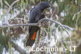 Calyptorhynchus banksii - Red-tailed Black Cockatoo LLT-165 ©Jiri Lochman - Lochman LT