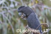 Calyptorhynchus banksii - Red-tailed Black Cockatoo LLT-167 ©Jiri Lochman - Lochman LT