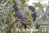 Calyptorhynchus banksii - Red-tailed Black Cockatoo LLT-169 ©Jiri Lochman - Lochman LT