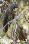 Calyptorhynchus banksii - Red-tailed Black Cockatoo LLT-172 ©Jiri Lochman - Lochman LT