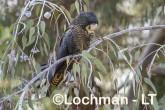 Calyptorhynchus banksii - Red-tailed Black Cockatoo LLT-174 ©Jiri Lochman - Lochman LT