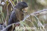 Calyptorhynchus banksii - Red-tailed Black Cockatoo LLT-176 ©Jiri Lochman - Lochman LT