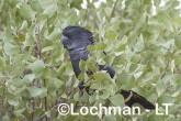Calyptorhynchus banksii - Red-tailed Black Cockatoo LLT-184 ©Jiri Lochman - Lochman LT