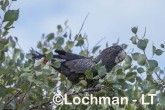 Calyptorhynchus banksii - Red-tailed Black Cockatoo LLT-188 ©Jiri Lochman - Lochman LT