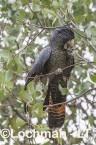 Calyptorhynchus banksii - Red-tailed Black Cockatoo LLT-189 ©Jiri Lochman - Lochman LT