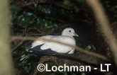 Ducula spilorrhoa Torres Strait Pigeon LAY-526 ©Jiri Lochman - Lochman LT