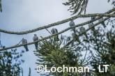 Lapholaimus antarcticus Topknot Pigeon LLW-312 ©Jiri Lochman - Lochman LT
