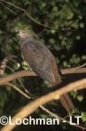 Macropygia phasianella Brown Cuckoo-dove LAY-472 ©Jiri Lochman - Lochman LT