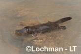 Ornithorhynchus natinus - Platypus VTD-060 ©Alex Steffe - Lochman LT