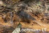 Ornithorhynchus natinus - Platypus VTD-066 ©Alex Steffe - Lochman LT