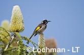 Phylidonyris novaehollandiae - New Holland Honeyeater LLH-342 ©Jiri Lochman - Lochman LT