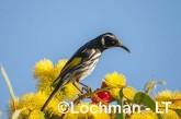 Phylidonyris novaehollandiae - New Holland Honeyeater LLP-825b ©Jiri Lochman - Lochman LT