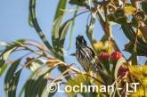 Phylidonyris novaehollandiae - New Holland Honeyeater LLP-829 ©Jiri Lochman - Lochman LT