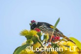 Phylidonyris novaehollandiae - New Holland Honeyeater LLP-833 ©Jiri Lochman - Lochman LT