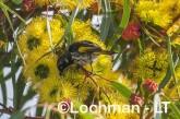 Phylidonyris novaehollandiae - New Holland Honeyeater LLP-834 ©Jiri Lochman - Lochman LT
