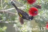 Phylidonyris novaehollandiae - New Holland Honeyeater LLW-454 ©Jiri Lochman - Lochman LT