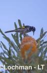 Phylidonyris novaehollandiae - New Holland Honeyeater LLW-641 ©Jiri Lochman - Lochman LT