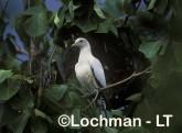 Pied Imperial Pigeon QC-088 © Stanley Breeden Lochman Transparencies