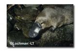 Platypus EMY-188 new scan © Peter Marsack Lochman LT