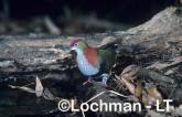 Superb Fruit Dove - Ptilinopus superbus