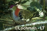 Superb Fruit-Dove QCY-091 ©Stanley Breeden-  Lochman LT.