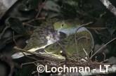 Superb Fruit-Dove QCY-093 ©Stanley Breeden-  Lochman LT.