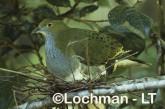 Superb Fruit-Dove QCY-094 ©Stanley Breeden-  Lochman LT.