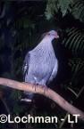Topknot Pigeon HBY-743 ©Hans & Judy Beste - Lochman LT