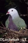 Wompoo Fruit-Dove HB-370 © Hans & Judy Beste Lochman T