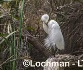 Egretta alba - Great Egret LLW-788 ©Jiri Lochman - Lochman LT