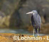 Egretta sacra - Eastern Reef Egret LLW-799 ©Jiri Lochman - Lochman LT