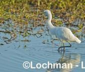 Intermediate Egret LLH-774 © Lochman Transparencies