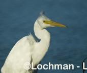 Intermediate Egret LLH-781b © Lochman Transparencies