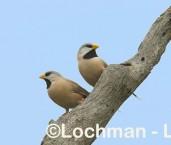 Long-tailed Finch LLG-854 © Lochman Transparencies