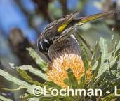 Phylidonyris novaehollandiae New Holland Honeyeater LLW-735 ©Jiri Lochman - Lochman LT