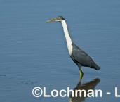 Pied Heron LLH-589 ©  Lochman Transparencies