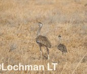Ardeotis australis Australian Bustard LLW-959 ©Jiri Lochman - Lochman LT