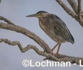 Butorides striatus - Striated Heron LLW-804 ©Jiri Lochman - Lochman LT