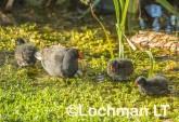 Gallinula tenebrosa Dusky Moorhen LLW-988 ©Jiri Lochman - Lochman LT
