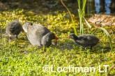 Gallinula tenebrosa Dusky Moorhen LLW-989 ©Jiri Lochman - Lochman LT