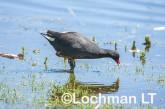 Gallinula tenebrosa Dusky Moorhen LLW-992 ©Jiri Lochman - Lochman LT
