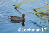 Gallinula tenebrosa Dusky Moorhen LLW-997 ©Jiri Lochman - Lochman LT