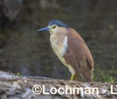 Nycticorax caledonicus - Nankeen Night Heron LLW-809 ©Jiri Lochman - Lochman LT