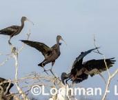 Plegadis falcinellus - Glossy Ibis LLW-896b ©Jiri Lochman - Lochman LT